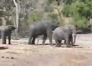 African elephants fucks in the desert