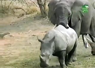 Outdoors sex session of the elephants